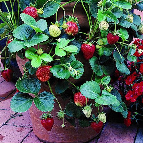 Strwaberries